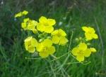 fleurs-de-roquette-visoflora-40603